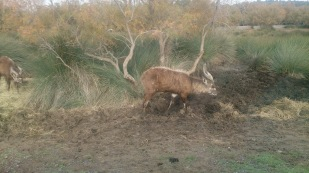 Antelope?